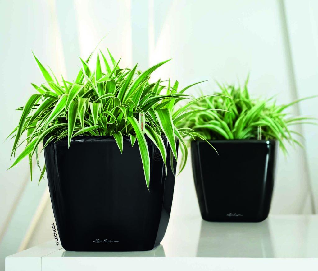 Plantes Chlorophytum dans des pots noir carré sur une table