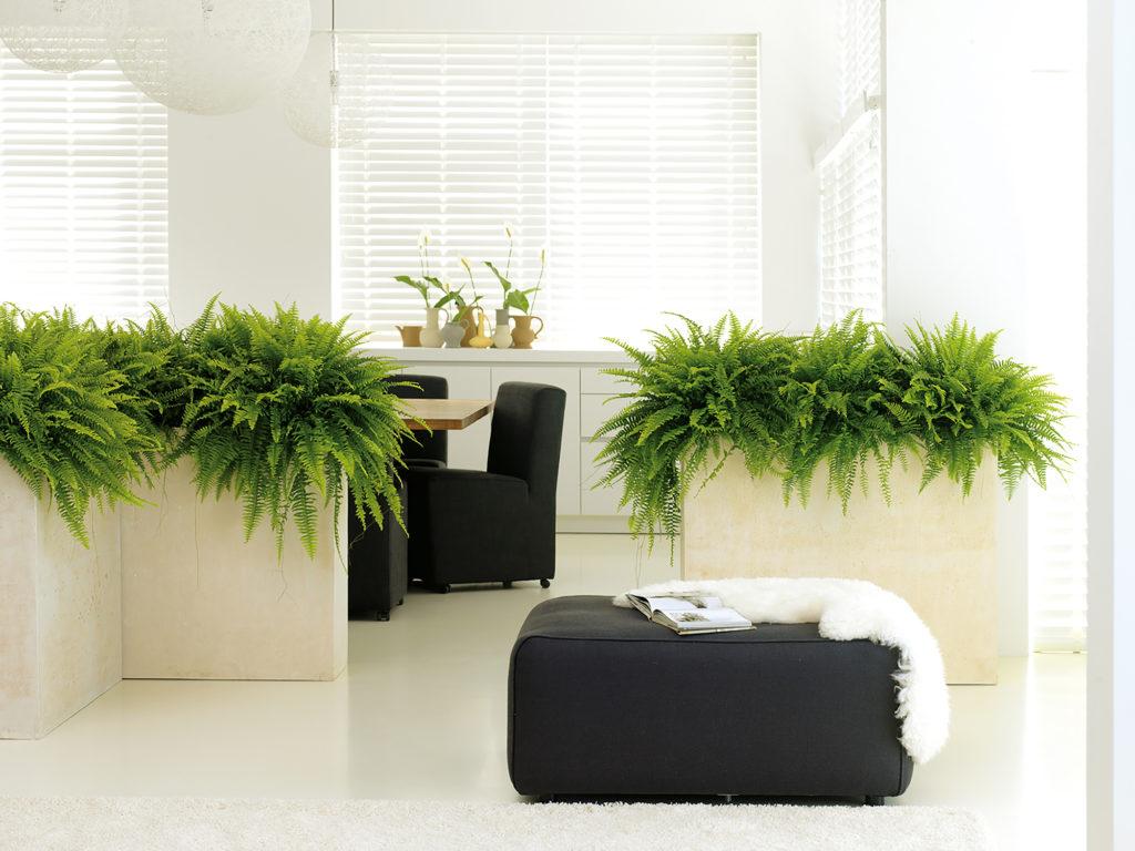 Plantes Nephrolepis dans des bacs rectangle blanc dans une salle de réunion