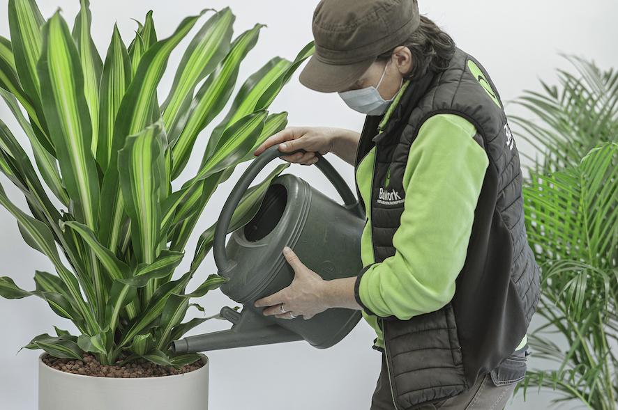 Arrosage d'une plante d'intérieur de bureau