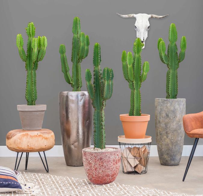 Cactus en pots originaux en entreprise