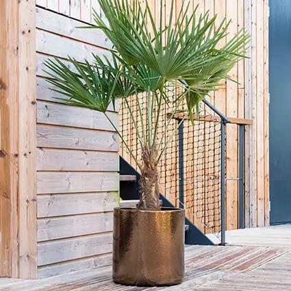 Palmier en pot doré sur une terrasse bois