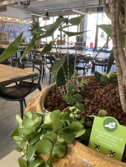 Entretien d'une plante dans un restaurant d'entreprise
