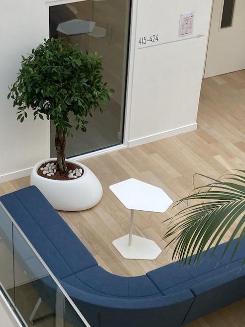 Ficus dans un pot blanc en entreprise