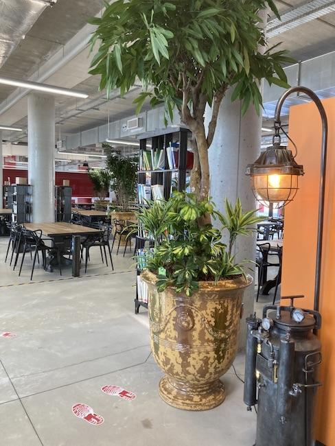 Ficus dans un pot Toscane dans un restaurant d'entreprise