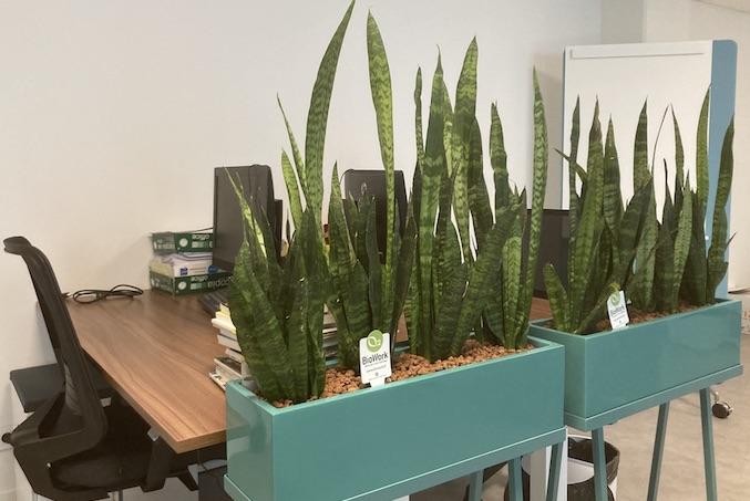 Plante Sansevieria dans une jardinière mobile Green Mooving