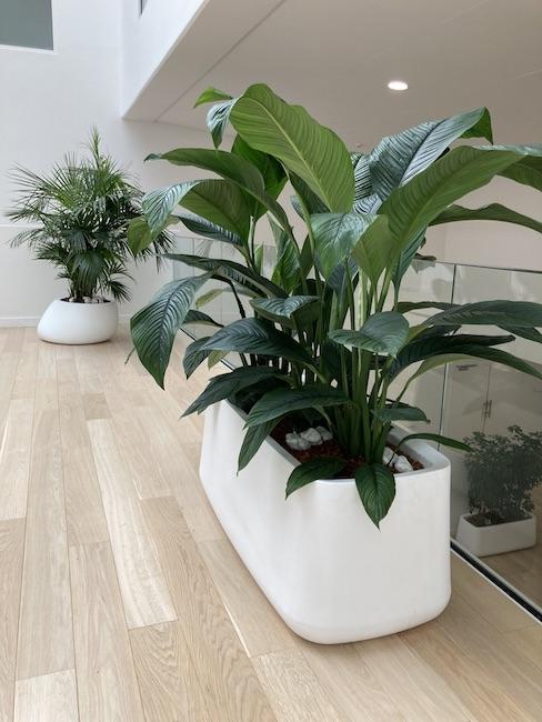 Plante Spathyphillum dans un pot blanc Vondom